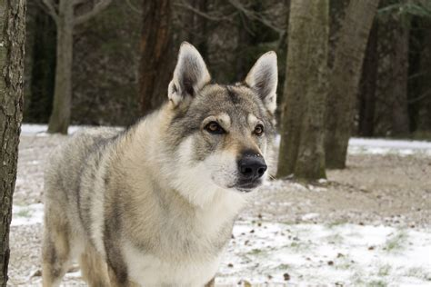 wolf hybrid is it responsible to breed or buy wolf dog hybrids