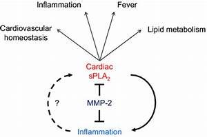 A Heart U2010centric Mmp U20102  Spla2 Axis May Modulate Blood