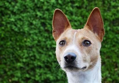 Basenji Dog Breed Dogs Background Bush Animals
