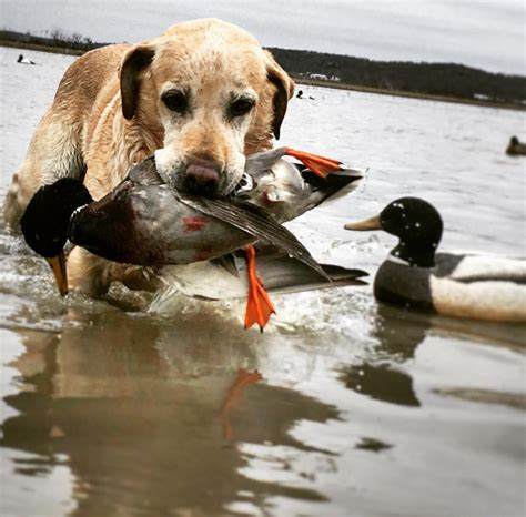 illinois waterfowl hunting guided duck goose hunts