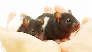 Was Fressen Ratten : was fressen ratten gerne ratten vertreiben und vorbeugen tipps sch dlinge garten ratten und m ~ One.caynefoto.club Haus und Dekorationen