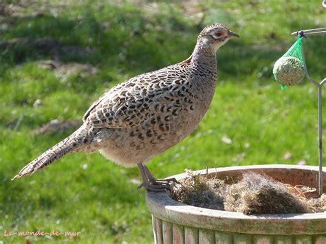 cuisiner une poule faisane photo d 39 une poule faisane qui vient picorer les boules de