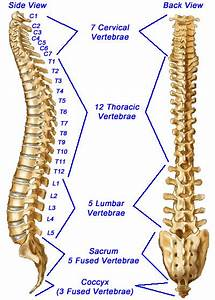 Vertebral Column Labeled Spine Spinal Column Or Vertebral ...