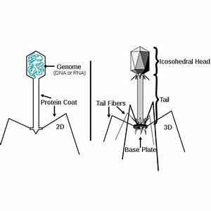 Bacteriophages  Viruses That Attack Bacteria