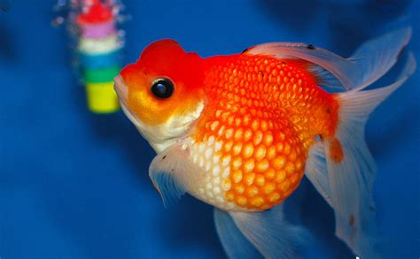 pearlscale goldfish tips  characteristics