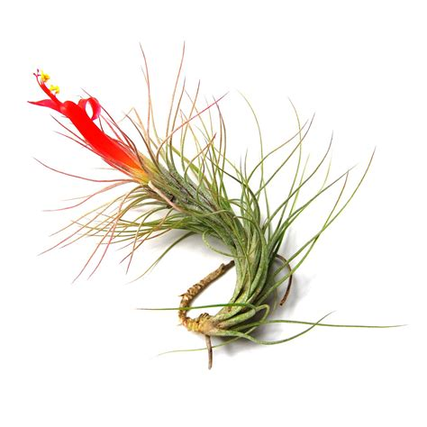 how to make air plants bloom funckiana air plants air plant supply co