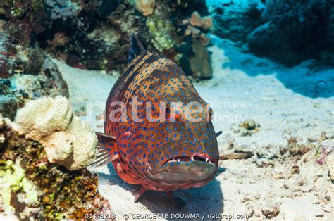 sea grouper plectropomus egypt coral georgette lightbox mail order northern