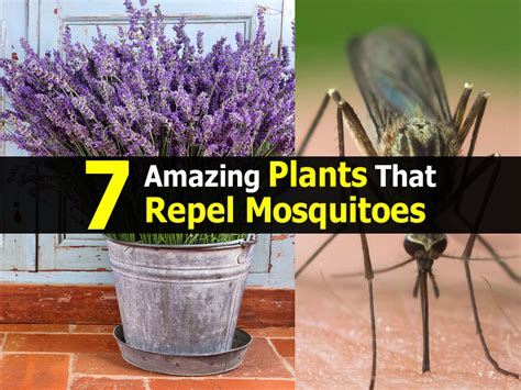 indoor plants to repel mosquitoes 7 amazing plants that repel mosquitoes