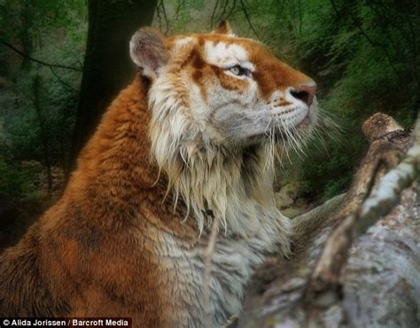 Not Your Average Tabby Cat Stunning Golden Tiger