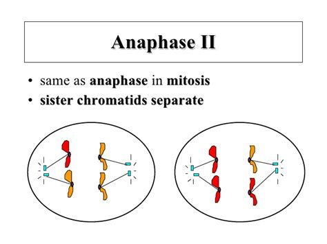 Metaphase 2 Diagram by Meiosis Notes