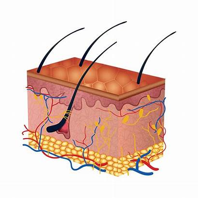 Skin Clipart Inside Care Personal Biology Lurking