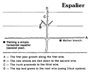 espalier how to rabbit damage to espaliered apple trees d oh i y