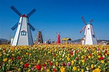 A Riot of Tulips and Authentic Windmill Experience in ...