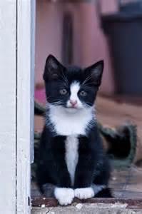 tuxedo cat names 140 best images about tuxedo cat on