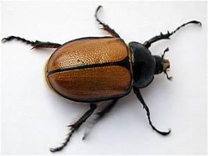 Curiosidades y fotos de animales: Escarabajo