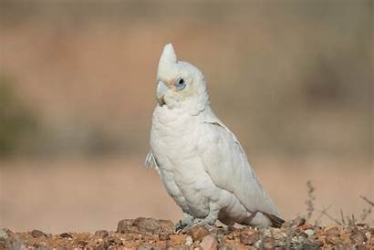 Corella Cockatoo Birds Parrots Parrot Sanguinea Cacatua