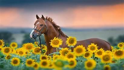 Microsoft Sunflowers Premium Windows Themes