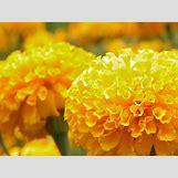 Marigold Flower Wallpaper | 1600 x 1200 jpeg 151kB