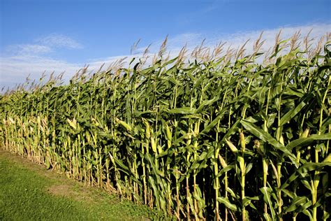 Maize Starch - Organic - Arvanza Global