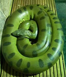 giant green anaconda - Google Search | Snakes! | Pinterest ...
