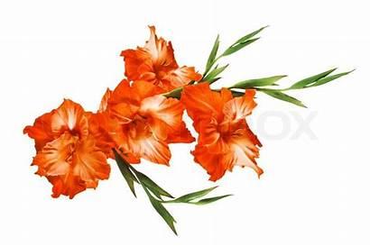 Orange Gladiolus Background Isolated Colourbox Supplier