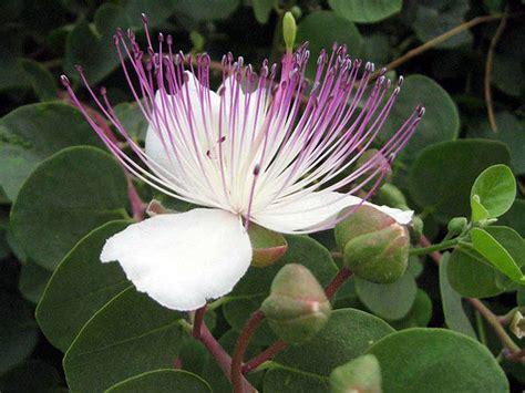 fiori capperi la pianta cappero genera i buonissimi e costosi