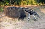 Giant Anteater Photograph by Tony Camacho/science Photo ...