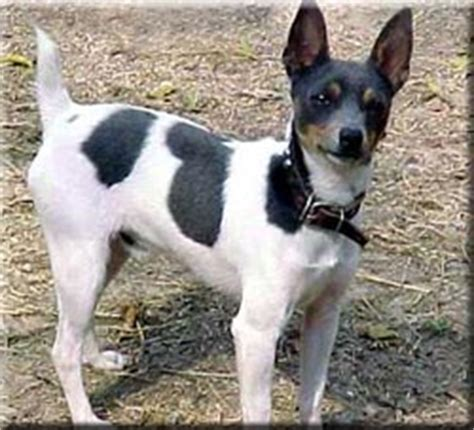 Stop Rat Terrier Shedding by Rat Terrier Breed Information And Pictures Dooziedog