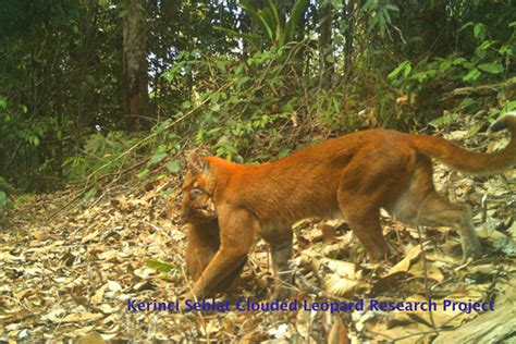 Mother Cub Researchers Photograph Rare Cat With