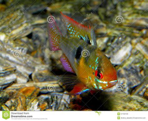 poissons d aquarium d am 233 rique du sud ramirezi d eau douce de m 233 moire vive de microgeophagus de