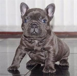Cute Blue French Bulldog puppies available - Dogs ...
