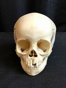 Human Fetal Skulls For Sale