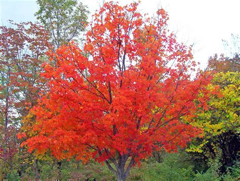 maple tree autumn maple tree free stock photo public domain pictures