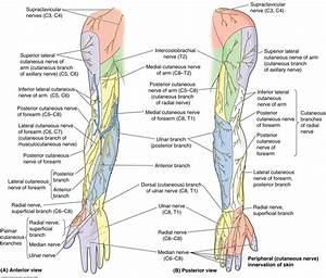 Anatomy  U0026 Physiology Upper Limb 2 Lecture 7