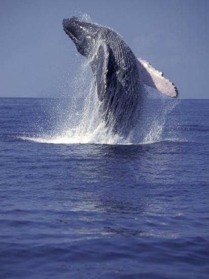 humpback whale breaching photographic print  michele