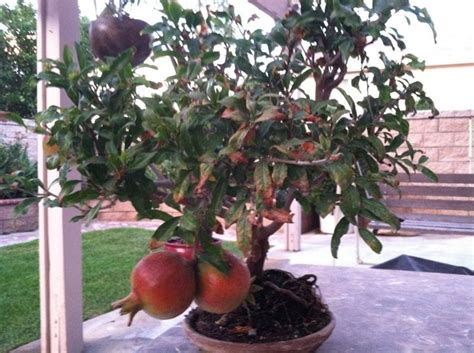 vasi per bonsai grandi melograno bonsai attrezzi e vasi per bonsai bonsai di