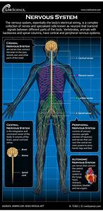 Nervous System  Facts  Function  U0026 Diseases