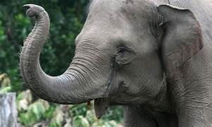 Sumatran Elephant_247511   Photos   WWF