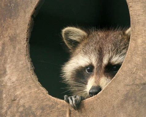 owning a raccoon video clever raccoon steals cat food with hilarious getaway