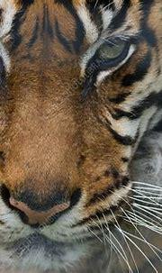 Sumatran tiger close-up head - Stock Image - F023/2035 ...