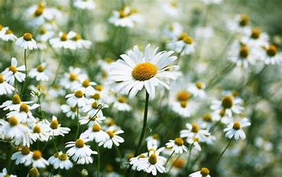 Daisy Wallpapers Pc Natural