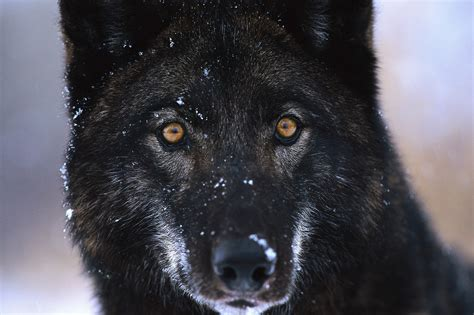 Wallpaper Black Wolf Background by Black Wolf Fresh Hd Desktop Wallpapers 2013 Beautiful