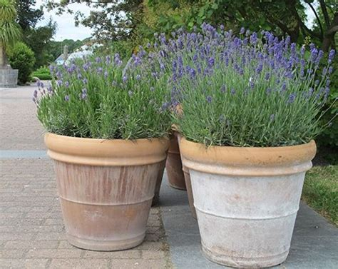 131 Best Images About All Lavender In Pots & Containers On