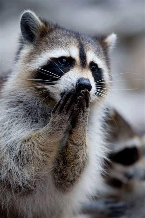 raccoon praying luvbat