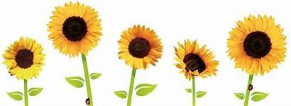 Sunflower Sunflowers Clipart Transparent Border Flower Drawing