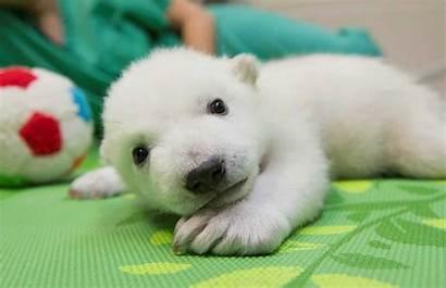 Polar Osito Bears Bear Zoo Nora Estrella