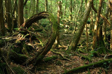 Aokigahara Forest A Perfect Place To Die  Charismatic Planet