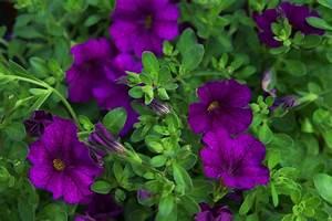 Balkonpflanzen Hängend Pflegeleicht : calibrachoa million bells zaubergl ckchen violett ~ Lizthompson.info Haus und Dekorationen