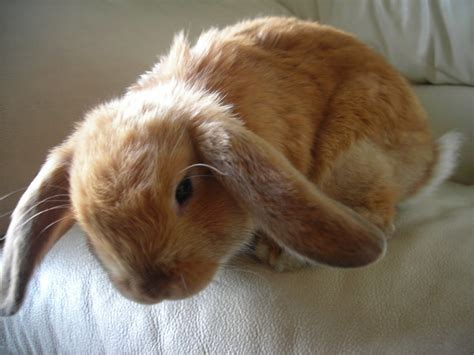 lop rabbit holland lop rabbits
