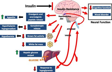 insulin action  brain regulates systemic metabolism